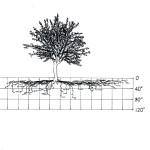 The Latest on Vegetable and Fruit Tree Roots – for Greater Yields